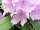 Legg Rhododendron puslespill